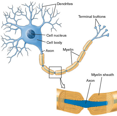 Image result for myelin sheath definition